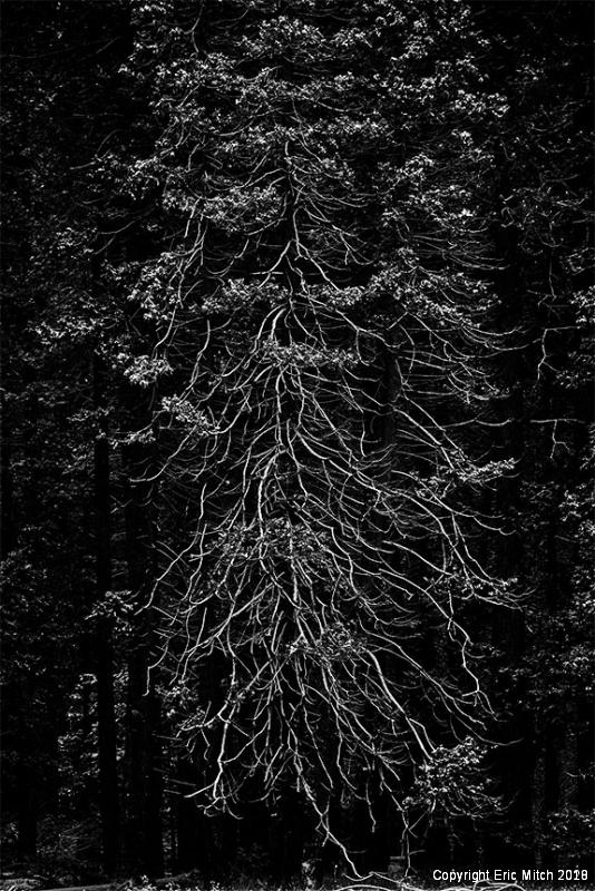 Yosemite Tree B&W