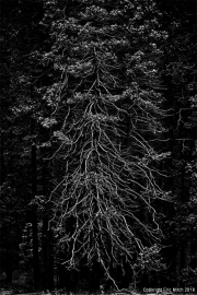 Yosemite Tree B&W