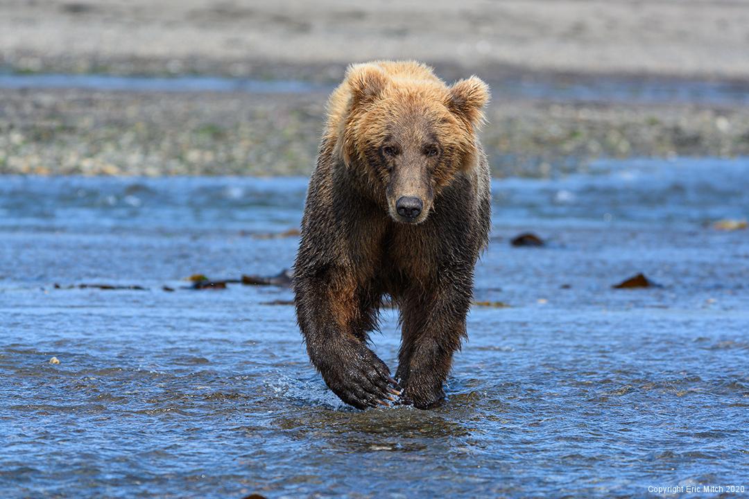 Alaska Coastal Grizzly Bear
