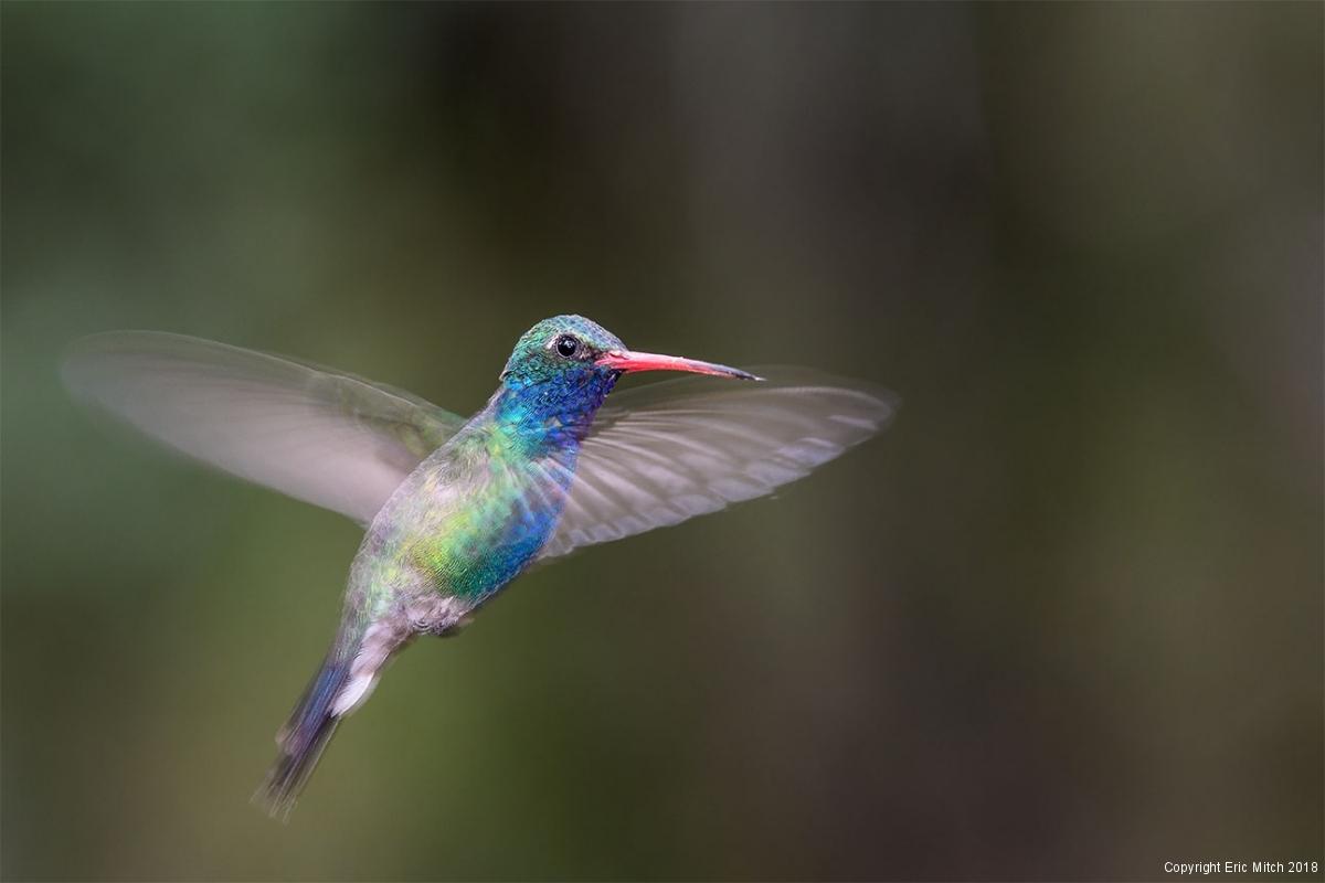 Male Broad-billed hummingbird