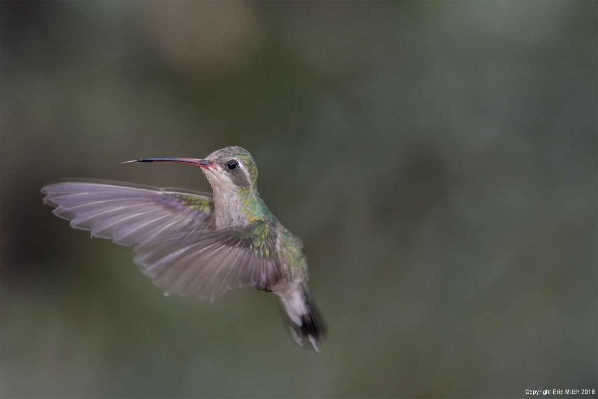Female Broad-billed hummingbird