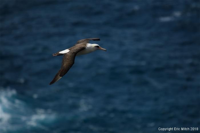 Layzans Albatross