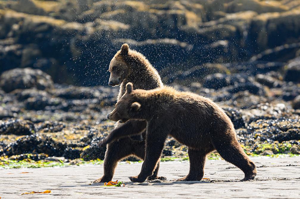 Coastal Grizzlies