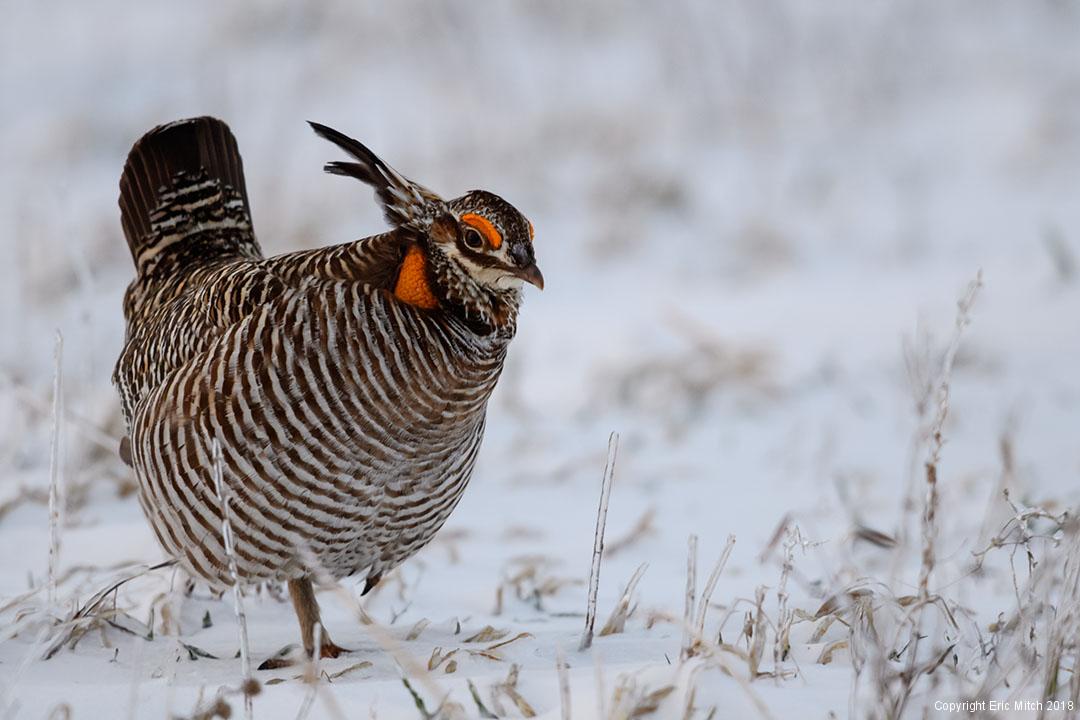 Great Prairie Chicken
