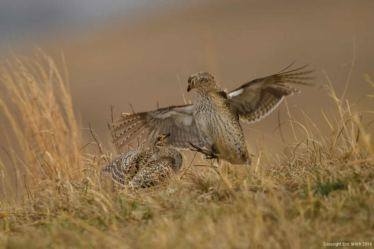 An unexpected morning – Sharp-tailed grouse