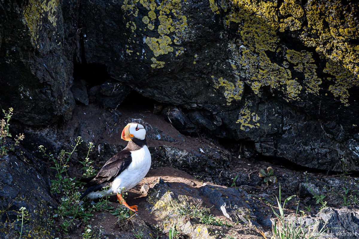 The puffin, a cool coastal bird
