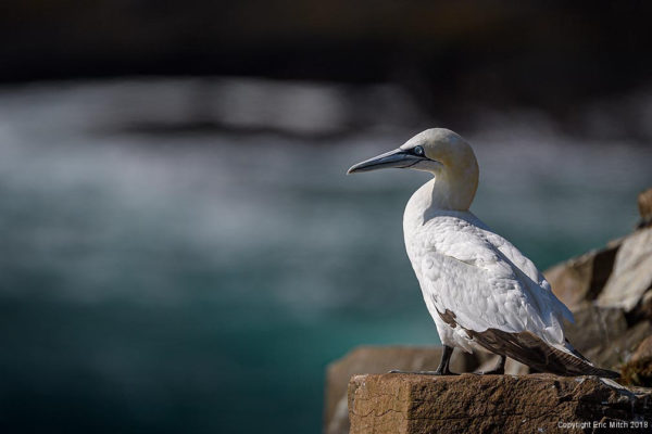 The Northern Gannet
