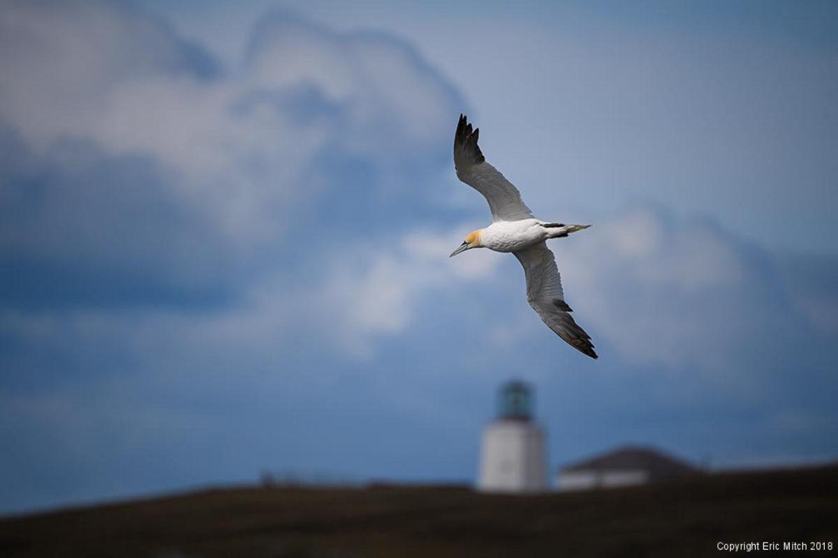 Northern Gannet Cape St Marys