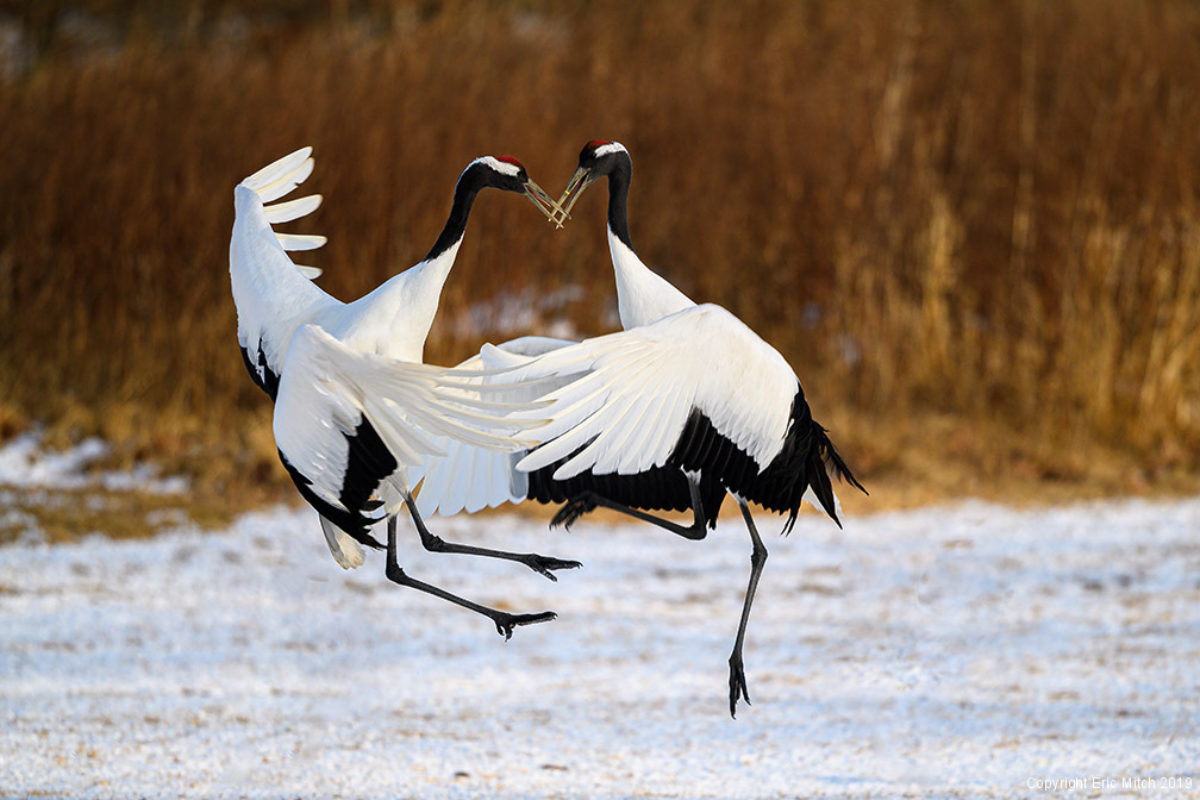 Check one off the bucket list – Red-Crowned Cranes