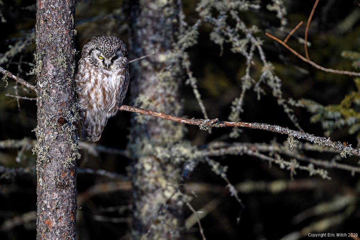 The Boreal Owl