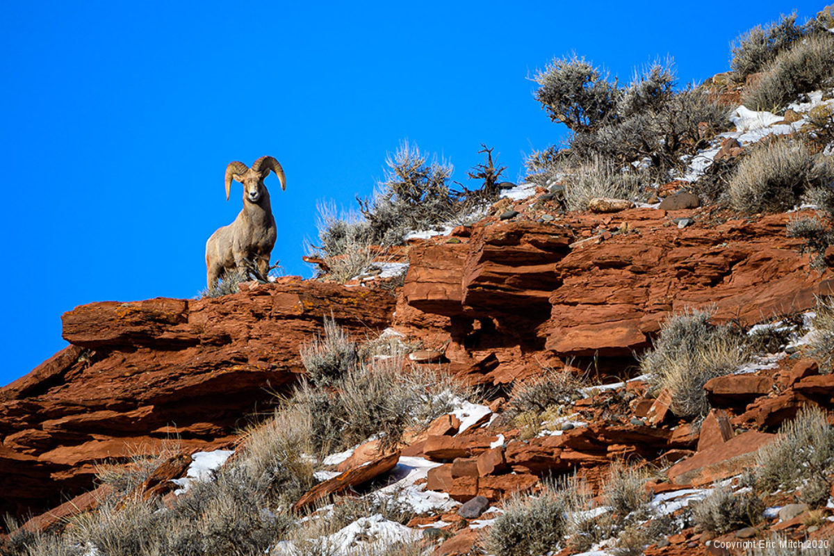 The Rocky Mountain Bighorn Sheep