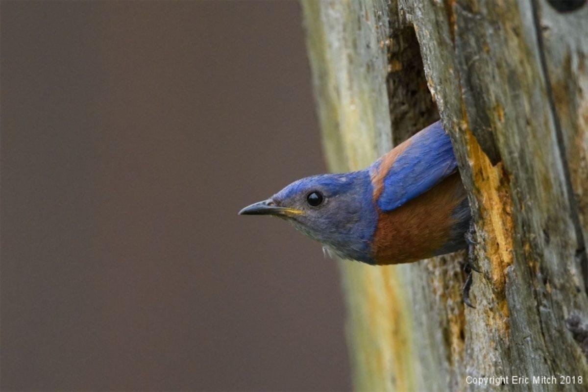 New tenants – the western bluebird